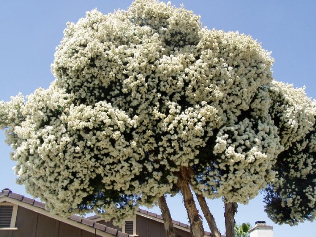 Resultado de imagem para foto da árvore melaleuca